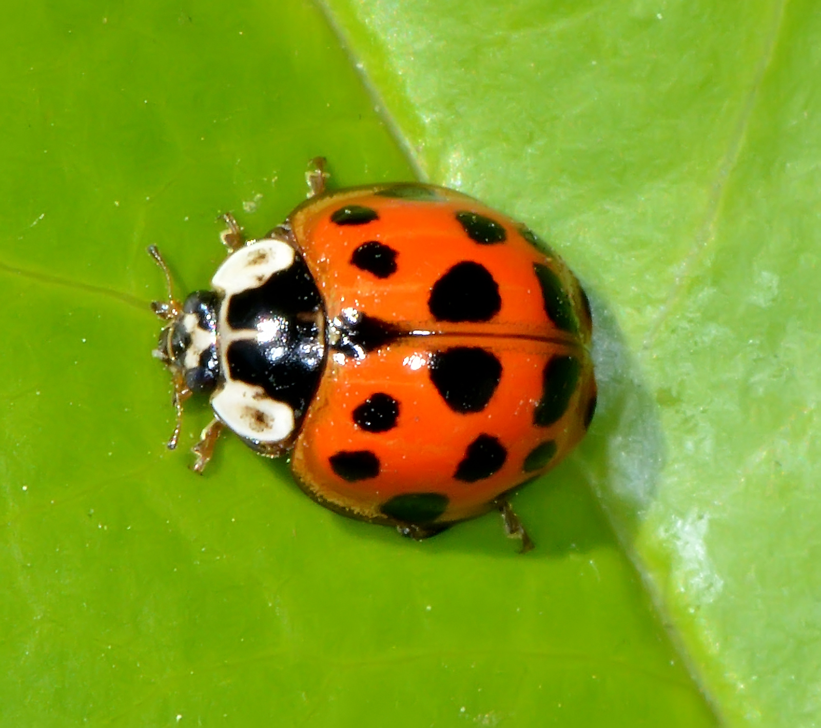 Multicolored-Asian-Lady-Beetle-Harmonia-axyridis-Austin-Insects