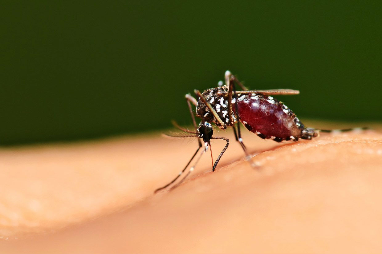 anophelese mosquito injecting infection in human