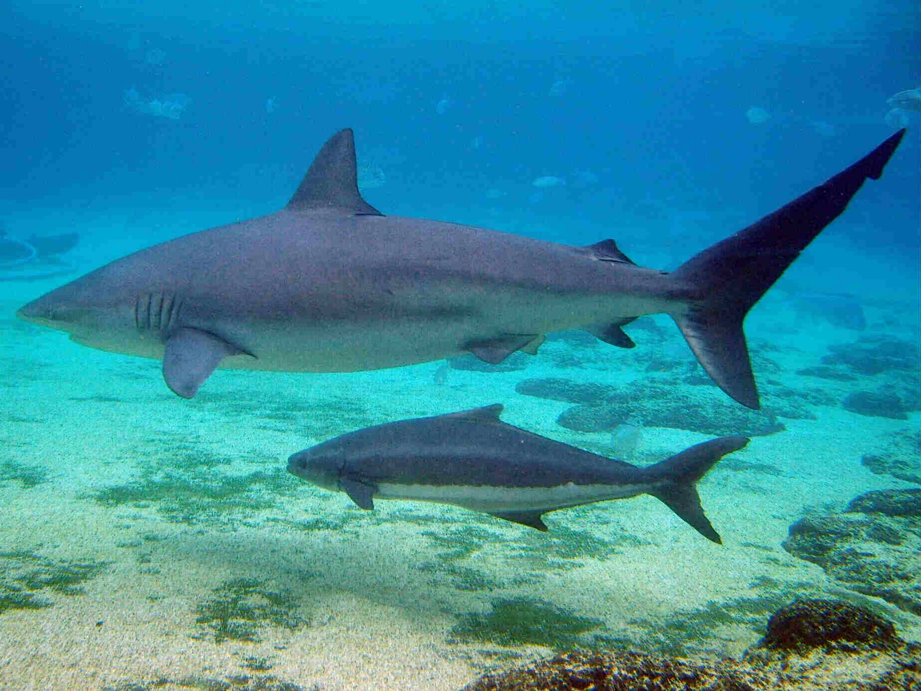 Sharks can hold sperm for nearly 4 years to produce their kids