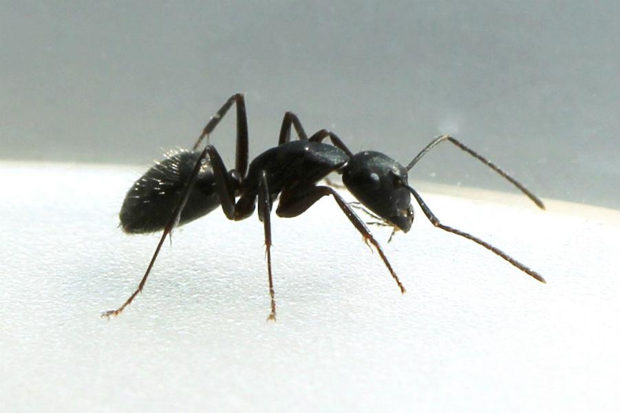 black ants make toilet in their living area