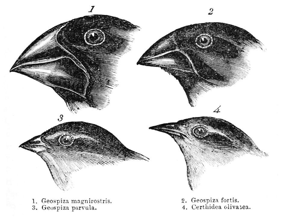 Darwin's finches with different type of beaks
