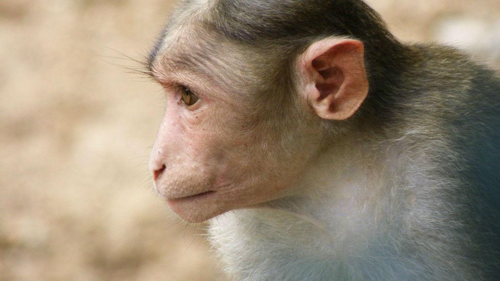 vaccine blocks HIV in monkeys