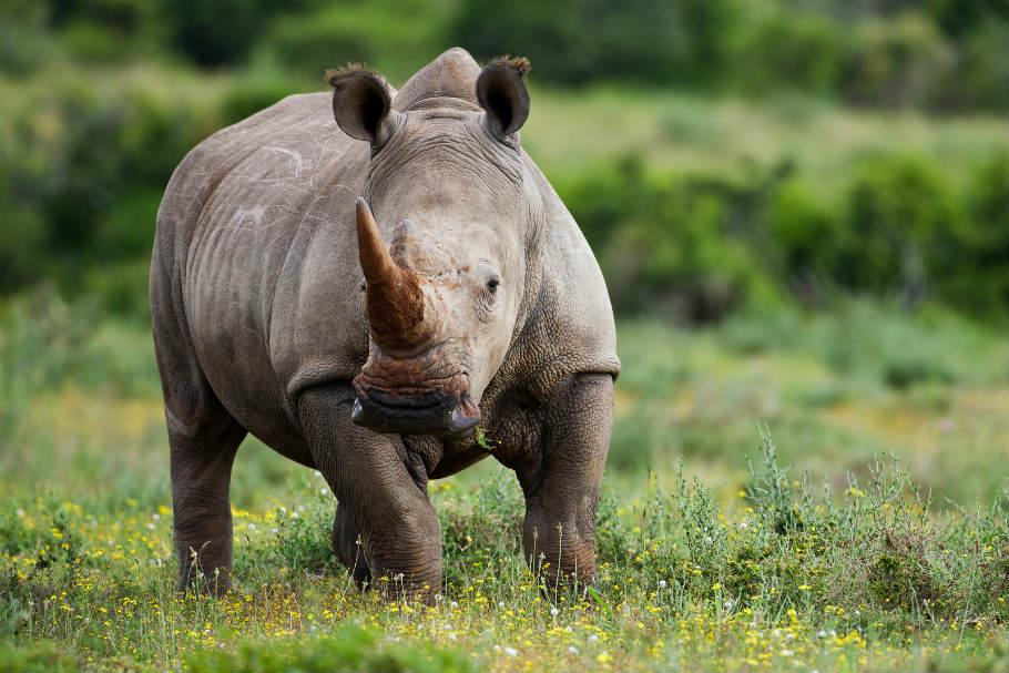 Poacher in Kaziranga kills 9 rhinos this year