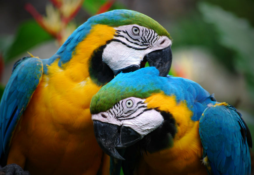 Here's why parrots talk like humans