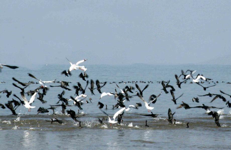 Pong Dam home to 12,314 bird species, reveals summer survey
