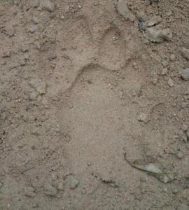 tiger 2 tecake