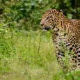 Leopard and Elephant's conflict with humans on the rise, detailed study urgently needed