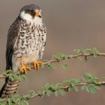 Two Amur Falcons return to Nagaland after travelling 5,600 km in just five days
