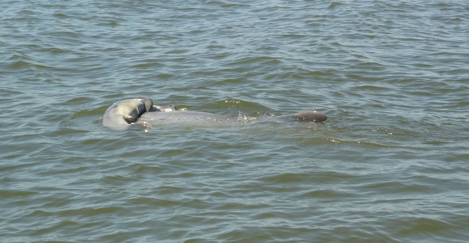 Starved for several days, female dolphin found dead in Budhablanga river