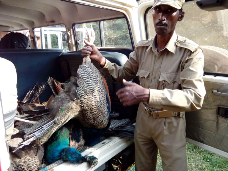 25 peacock and other birds mysteriously dead in Khurda Forest; hints Bird Flu