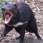 Scientists find another contagious cancer type in Tasmanian devils