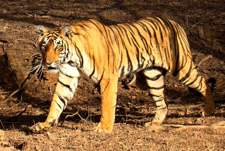 Tiger poplation in India has gone up by 30 percent in three years, Javedkar