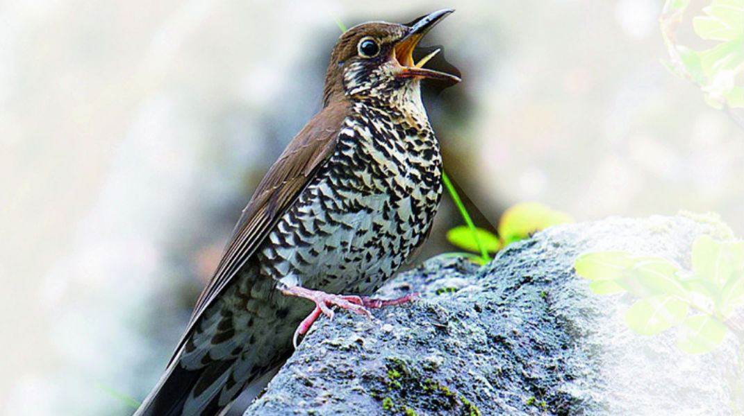 New species found in Himalaya named after Indian Birdman Dr. Salim Ali - The TeCake