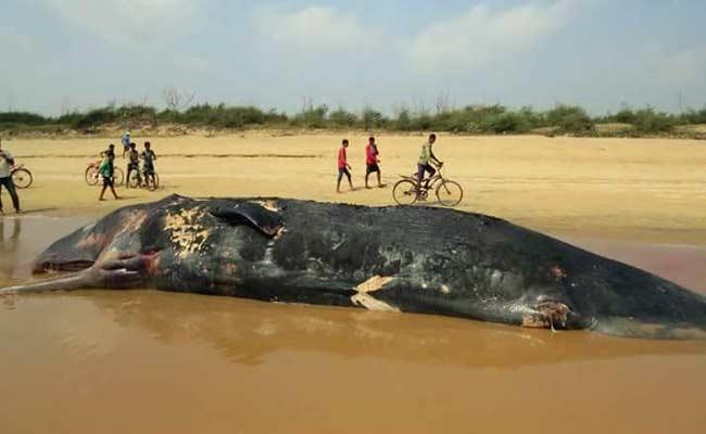 odisha sperm whale