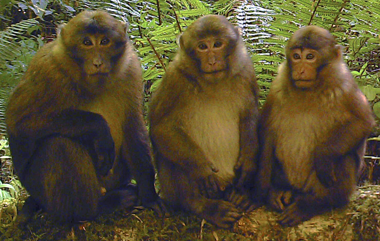 Researchers discover rare white-cheeked macaque species in Arunachal Pradesh