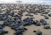 Endagered Olive Ridely turtles to skip mass nesting due to heatwaves