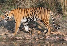 Poaching of tiger in India on the rise; 2016 witnesses more killings than 2015