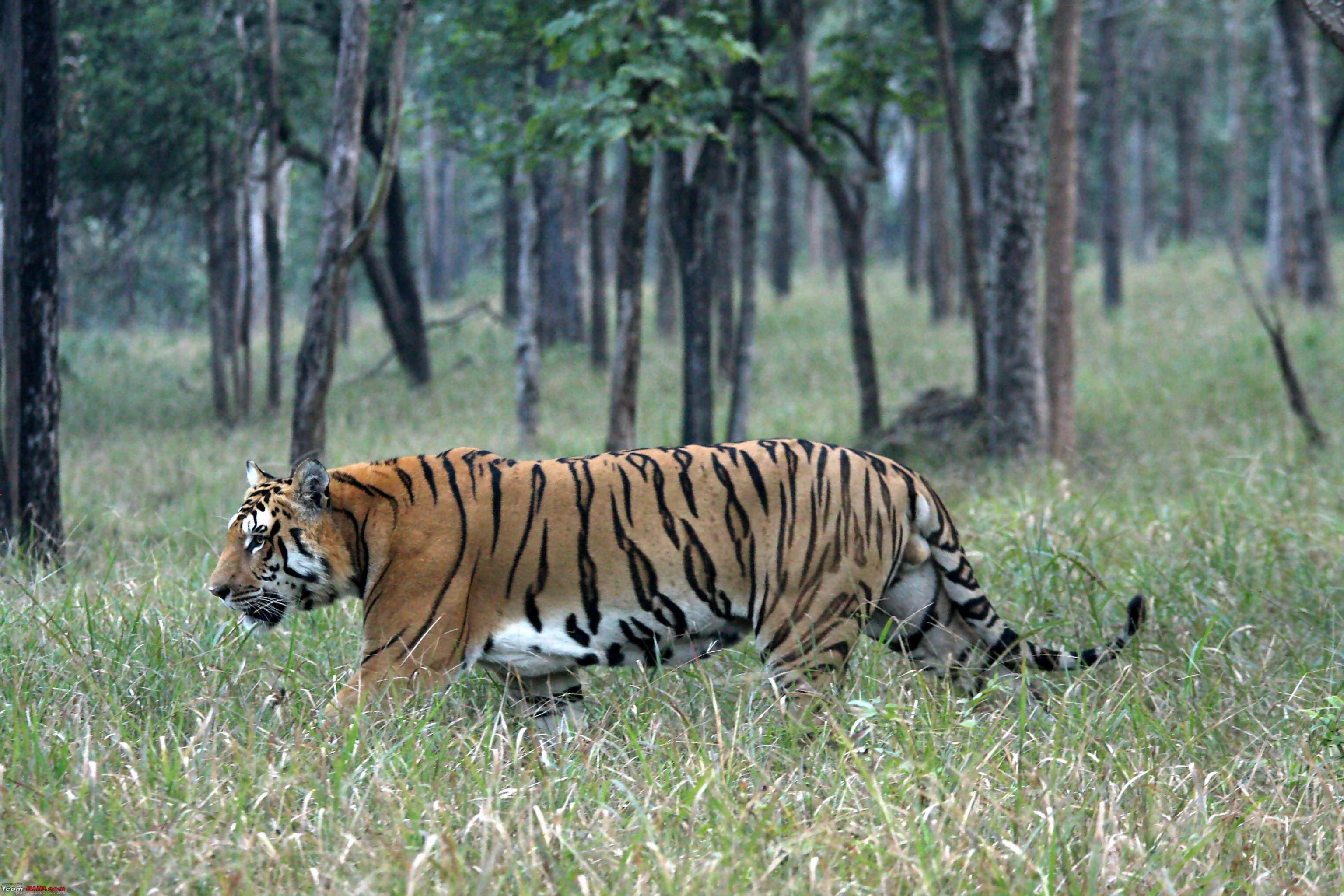 Pench-National-Park-Tiger