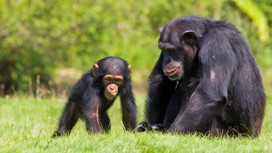 Strains of HIV carried by chimpanzee can infect human cells, confirms study