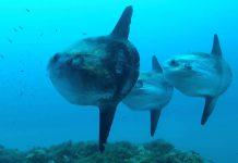 Mola Mola Fish The TeCake
