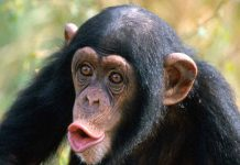 hooting chimp