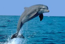 Dolphin inhales through Its Mouth