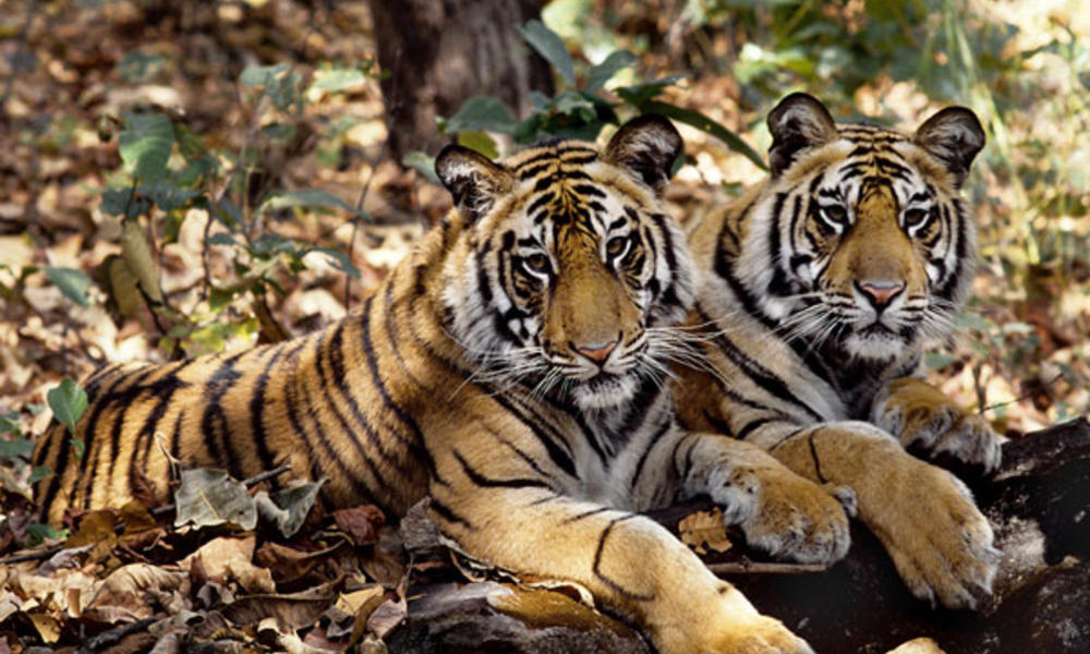 Tiger Alert!!! Illegal trading of tigers boomed in 15 years: WWF reports