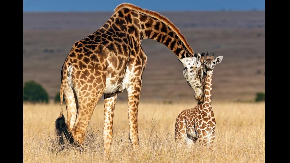 Not just One, there are four different species of Giraffes!