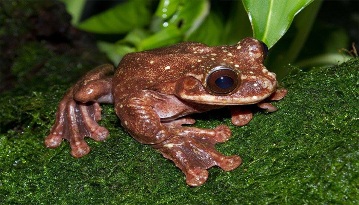 last-known Rabbs' fringe-limbed tree frogs
