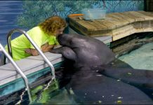 Guinness Book of World Records enlists 68-years-old Snooty as the oldest living sea cow