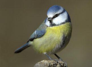Blue Tits birds prefer suburban gardens for feeder over cities, reveals study