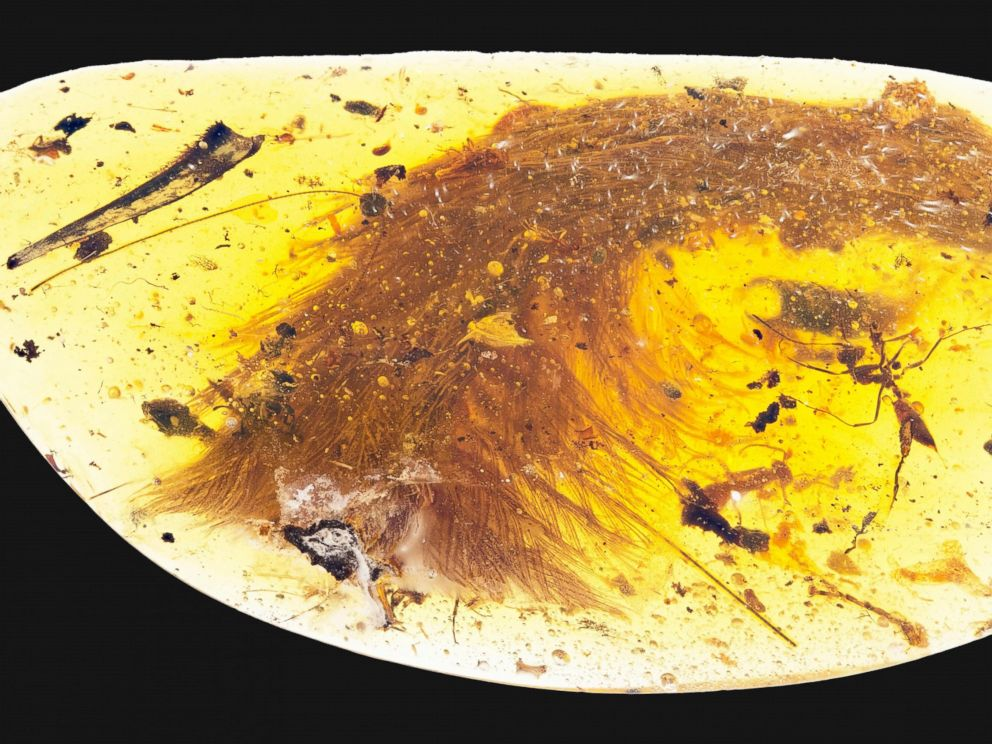 Palaeontologists discover first ever dinosaur tail and feathers trapped in Amber