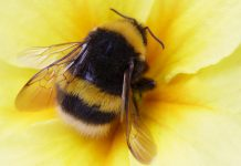 Bumblebees are the smallest intelligent species
