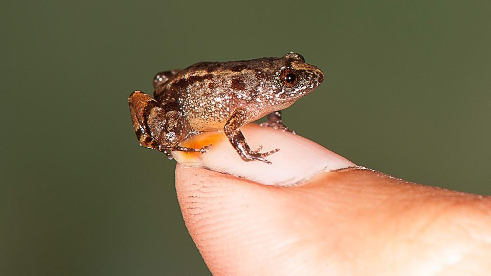 Four smallest frog species discovered in Western Ghats