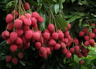 Eating Lychee in Empty Stomach Can Cause Brain Fogginess and Death among Kids