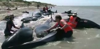 whale stranded in new zealand