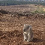 Deforestation and Koala