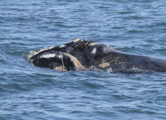 Officials said that the Whale species could become extinct after a deadly 2017