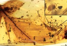 Ticks plagued new Evidence From Ancient Amber Shows Dinosaurs