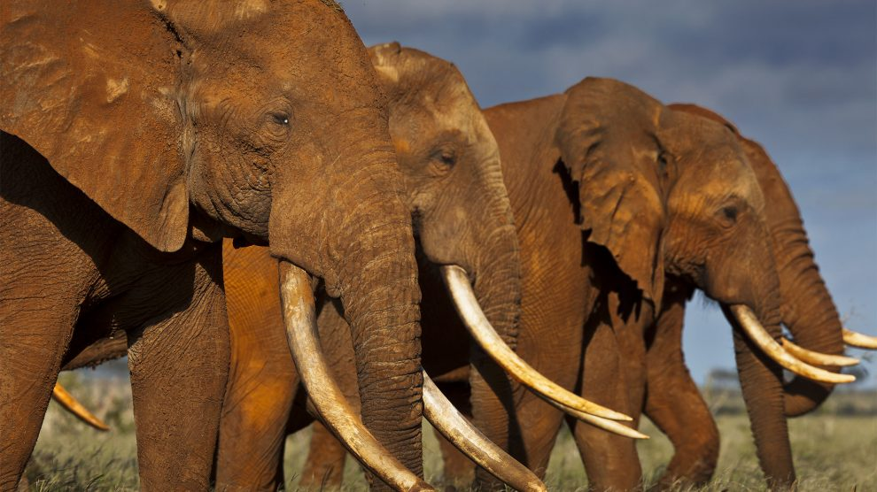 Why African elephant's population is declining: a study towards conservation of these species
