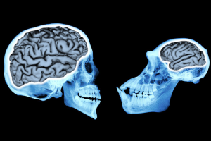 Brain size has tripled over three times in 3,000,000 years, a study suggests