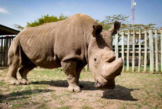 Sudan, the last male northern white rhino dies at the age of 45; The species might extinct soon