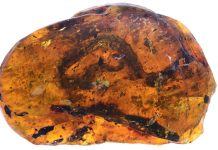 99-million year old fossil of snake found encased in amber